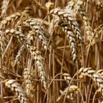 Phytopeptides are derived from wheat